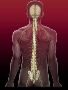 nervy chrbtice