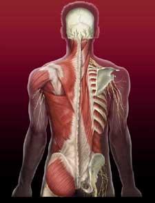 chrbtove svaly